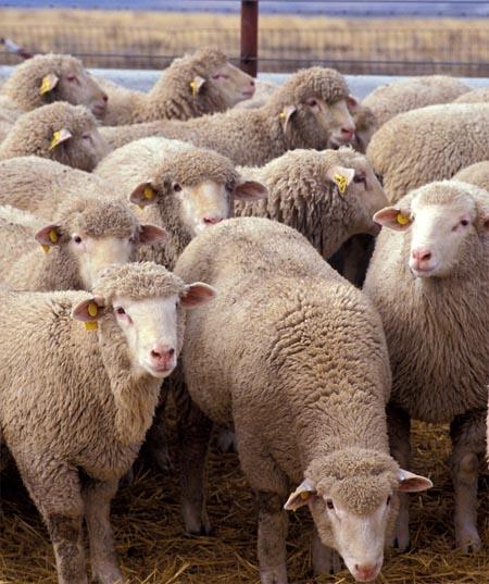 timid sheeps
